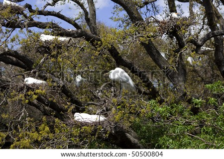 Nine Great Egrets (Ardea alba) nesting in a tree in St. Augustine, Florida - stock photo