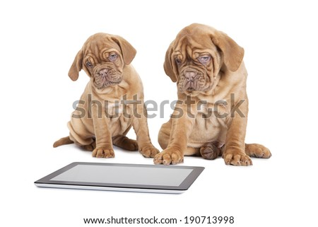Nine month old French Mastiff breed puppies with digital tablet computer