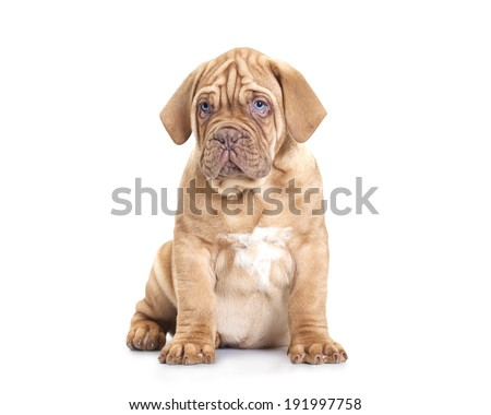 Nine months old French Mastiff puppy. Isolated on white background