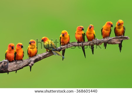 Nine of Sun Conure Parrot bird perching on a branch on green background - stock photo