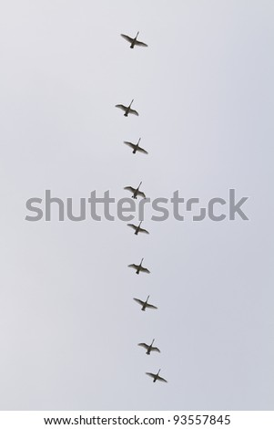 Nine swans flying in formation - stock photo