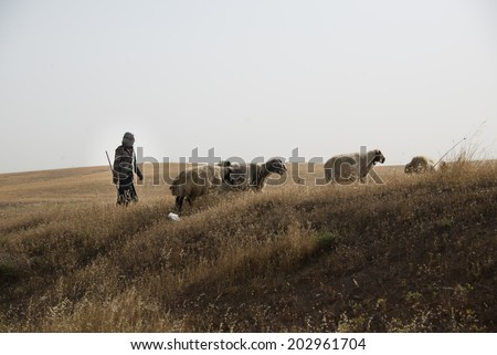 NINEVEH PROVINCE, IRAQI KURDISTAN - JUNE 21: A herder tends his flock in Ninevah Province, Iraqi Kurdistan, June 21, 2014. - stock photo