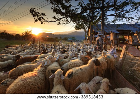 Ninh Thuan Province, Vietnam - February 28, 2016: a farmer who is herded sheep back to the barn at dusk. Pictures at a sheep farm in the steppe zone in Ninh Thuan Province, Vietnam
