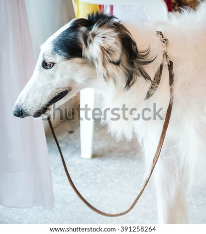 NIZHNY NOVGOROD, RUSSIA - JULY 14, 2013:  Outdoor exhibition of dogs of different breeds. Beagle Hound Dog close up - stock photo