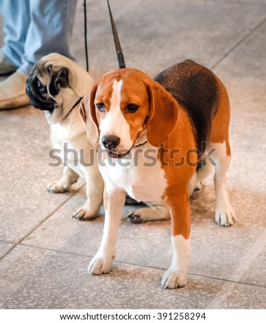 NIZHNY NOVGOROD, RUSSIA - JULY 14, 2013:  Outdoor exhibition of dogs of different breeds. Beagle dog close up - stock photo