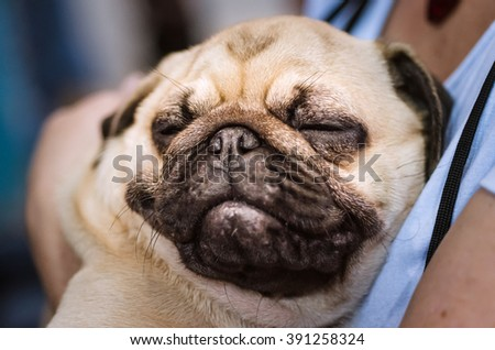 NIZHNY NOVGOROD, RUSSIA - JULY 14, 2013:  Outdoor exhibition of dogs of different breeds. Pug-dog close up - stock photo