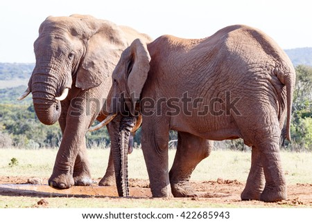 No Water Left - The African bush elephant is the larger of the two species of African elephant. Both it and the African forest elephant have in the past been classified as a single species.