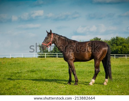 Noble dark horse standing on paddock during summer day sunset - stock photo
