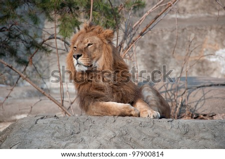 noble lion - stock photo