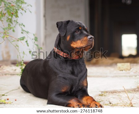 Noble Rottweiler lying in the park - stock photo