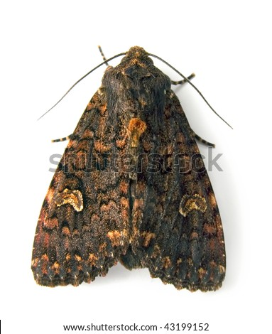 Noctiud moth - stock photo
