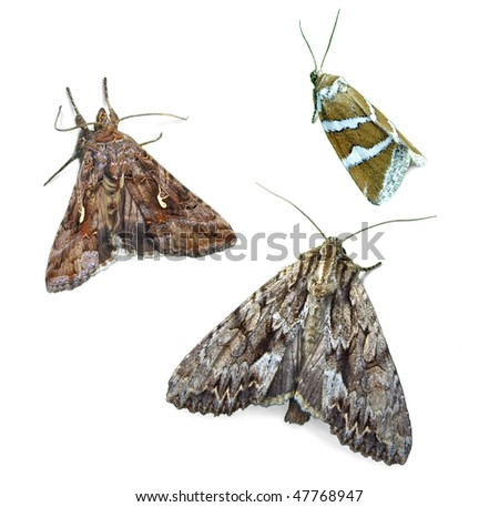 Noctuid moths