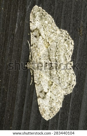 Noctuidae sp. in natural habitat - stock photo