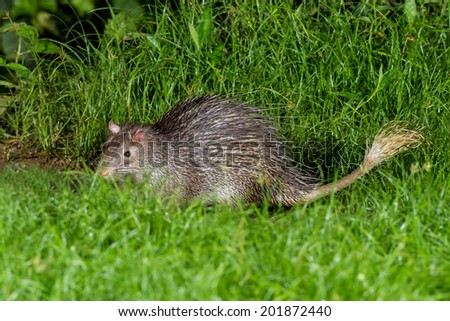 Nocturnal animals Brush-tailed Porcupine(Atherurus macrourus)  finding some food in nature at Kaengkrajarn national park,Thailand - stock photo