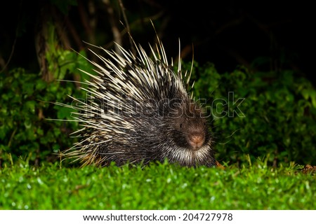 Nocturnal animals Malayan porcupine(Hystrix brachyura) front view stair at us in nature at Kaengkrajarn national park,Thailand - stock photo