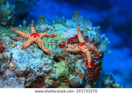 Noduled sea stars (Fromia nodosa) in the coral reef  - stock photo