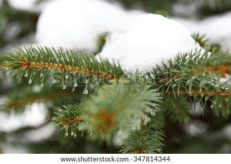 nole tree with snow for warm days