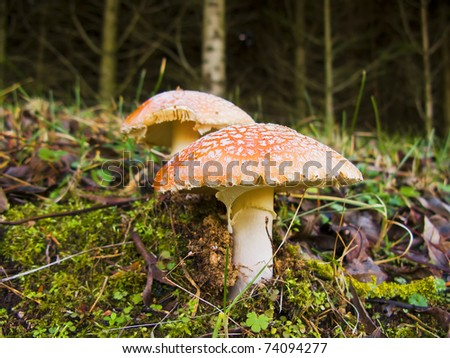 Non edible poisonous fly agaric mushrooms, in the nature - stock photo