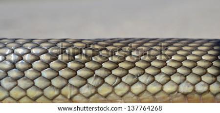 Non- poisonous Aesculapius' snake's skin detail on grey bokeh - abstract background - stock photo