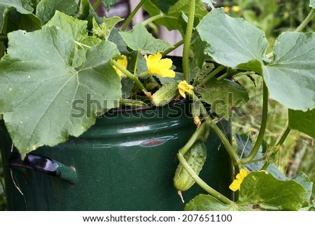 Nonconventional cultivation of cucumbers  - stock photo
