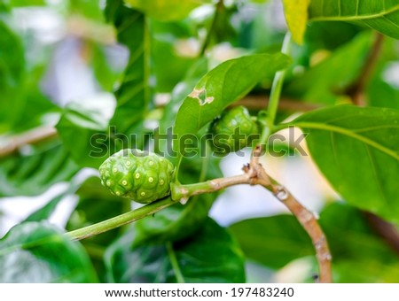 Noni fruit - stock photo