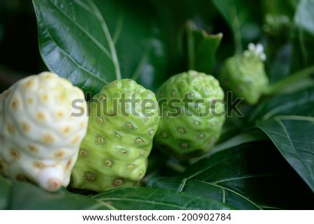 Noni fruit growing on the tree. Hawaii, Maui, USA