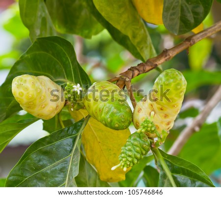 Noni fruit on the tree in garden