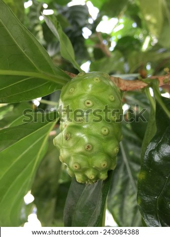 Noni fruit on tree - stock photo