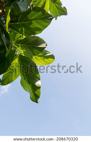 Noni, Great morinda, Beach mulberry  Leaves on the sky background - stock photo