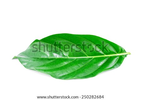 noni leaf isolated on white background - stock photo