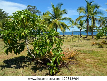 Noni tree, Morinda Citrifolia, with tropical vegetation and the Caribbean sea in background, Panama, Central America - stock photo