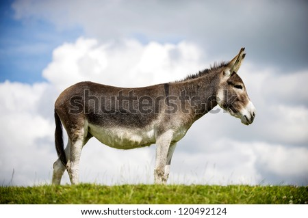 Norfolk Broads, Donkey standing on grass, profile view - stock photo