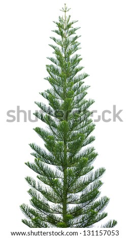 Norfolk pine tree isolated on a white background