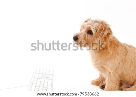 Norfolk terrier dog and keyboard, isolated on white background - stock photo