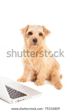 Norfolk terrier dog and laptop computer, isolated on white background