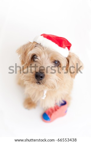 norfolk terrier dog at Christmas