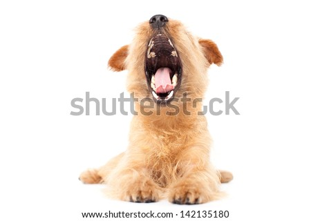 Norfolk terrier dog giving a big yawn, isolated on white background - stock photo