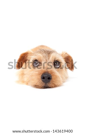 Norfolk terrier dog looking up, isolated on white background