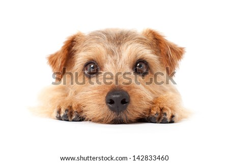 Norfolk terrier dog lying on white background