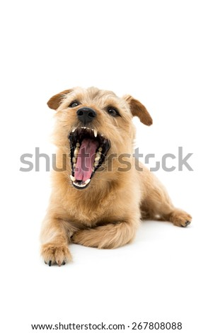 Norfolk terrier dog opening mouth isolated on white background - stock photo