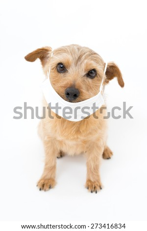 Norfolk terrier dog wearing a medical mask  - stock photo