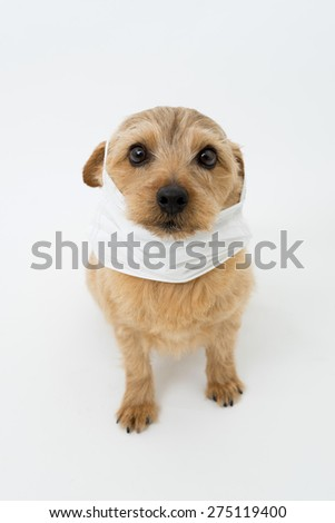 Norfolk terrier dog wearing a medical mask