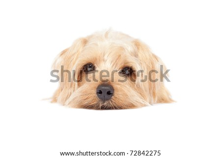 Norfolk Terrier dogs isolated on a white background
