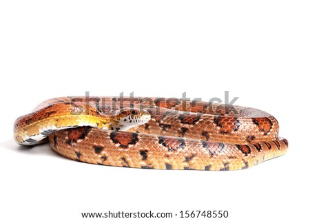 Normal corn snake on a white background - stock photo