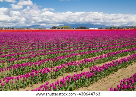 North America, United States, Washington, Mount Vernon, tulip fields bloom at the annual Skagit Valley Tulip Festival