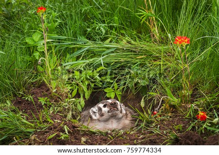 North American Badger (Taxidea taxus) Glares Upward - captive animal