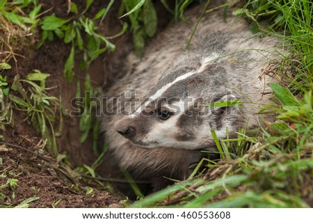North American Badger (Taxidea taxus) Profile Left - captive animal