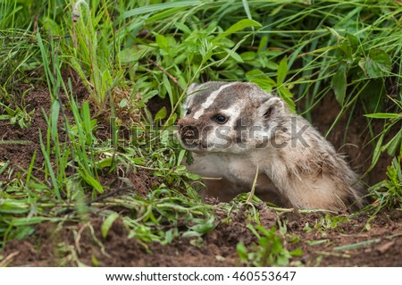 North American Badger (Taxidea taxus) Snarls Up Out of Den - captive animal