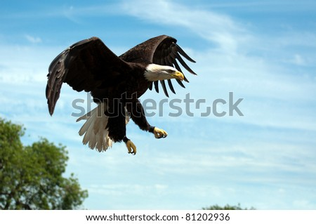 North American Bald Eagle in Flight - stock photo
