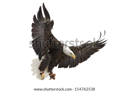 North American Bald Eagle on white background - stock photo